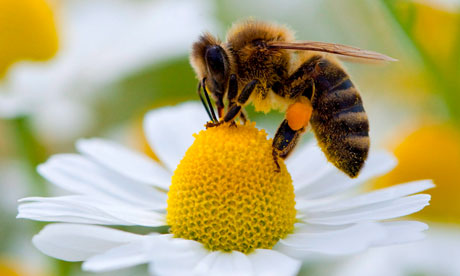 The Honey Bee: Advocate for Local Pollinators