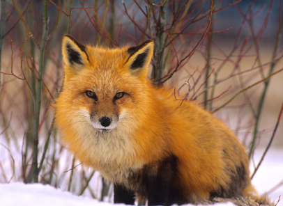 Wild History: 350 Years of New Hampshire Wildlife